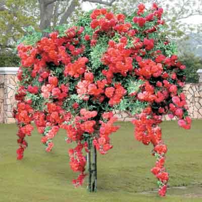 Фото цветов малинового дерева