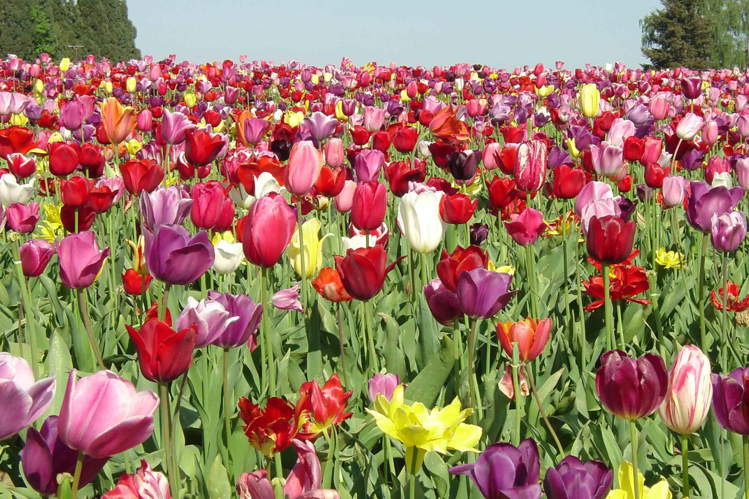Тюльпаны: посадка и выращивание в саду, сорта, борьба с 37