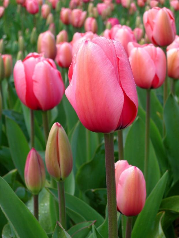 Тюльпаны. Как Вырастить Самому
