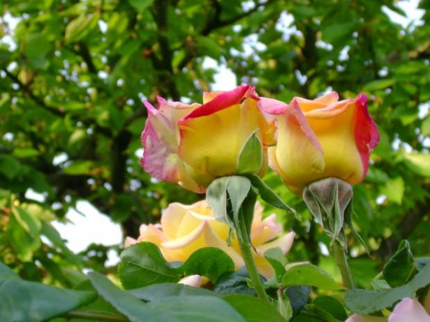 черешки, розы