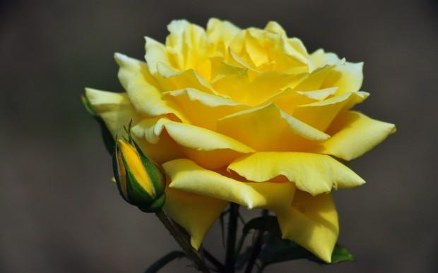 фото,желтые розы