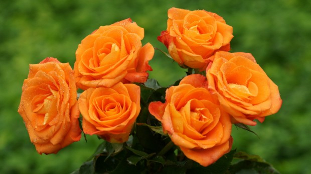 розы, фото