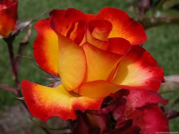 желто красные цветы