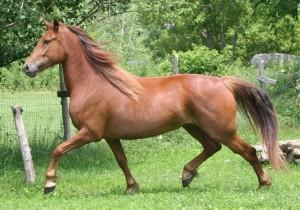 Канадская лошадь